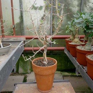 Commiphora samharensis ssp. terebinthina