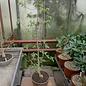 Commiphora harveyi   Mozabique, SO-Afrika