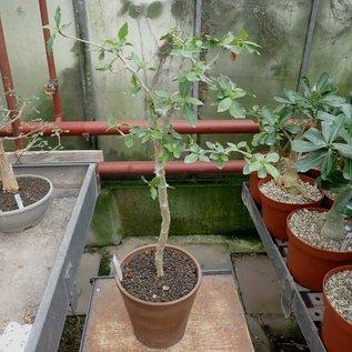 Commiphora pyracanthoides   Botswana, Zimbabwe, Mozambique, RSA, Namibia