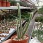 Disocactus flagelliformis Schlangenkaktus