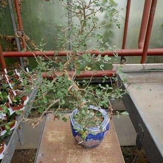 Bursera fagaroides   Sonora, Calofornien, Arizona, NW-Mexiko