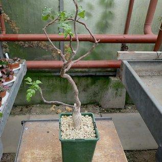 Bursera hindsiana ex. cerasifolia   Baja California, Mexiko