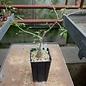 Bursera filicifolia