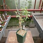 Commiphora eminii   Kenia
