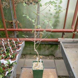 Commiphora africana v. glaucidula  Kenia