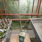 Commiphora neglecta   Zimbabwe, Mozambique, RSA, Botswana