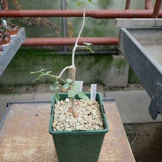 Commiphora eminii ssp. zimmermanii
