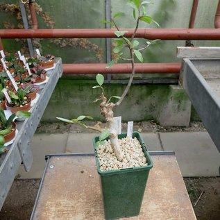 Commiphora rostrata v. reflexa
