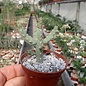 Euphorbia debilispina   Tanzania, Leach