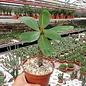 Euphorbia milii Grandiflora-Thai-Hybr. Harlequin