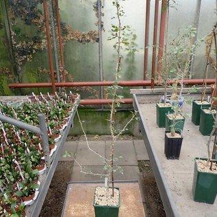 Commiphora glandulosa   Namibia, Botswana, RSA, Mozambique, Zimbabwe