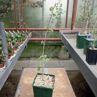 Commiphora oblongifolia