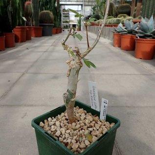 Commiphora holtziana  ssp. holtziana