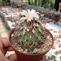 Gymnocactus gielsdorfianus      CITES, not outside EU