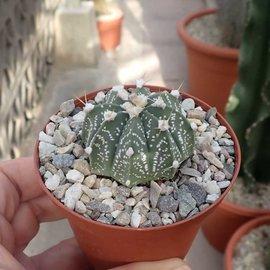 Astrophytum-Hybr. CAPAS X Super Kabuto A-Flower