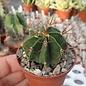 Astrophytum ornatum cv. Fukuryu