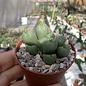 Conophytum spec.