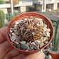 Gymnocalycium spegazzinii v. punillense TOM06-81/1 El Obelisco, Salta