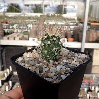 Echinocereus coccineus       (dw)