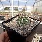 Echinocereus fendleri       (dw)