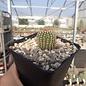 Echinocereus reichenbachii v. minor      (dw)