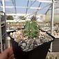 Echinocereus triglochidiatus  HK 374 Rio Puerco, Sandoval County, New Mexicó, USA     (dw)