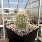 Echinocereus viridiflorus ssp. chloranthus v. neocapillus      (dw)