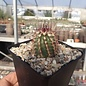 Echinocereus viridiflorus ssp. chloranthus  Dona Ana, New Mexico, USA    (dw)
