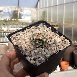 Escobaria missouriensis v. similis      (dw)