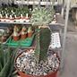Euphorbia horwoodii    gepfr. cristata