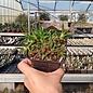 Chasmatophyllum musculinum       (dw)