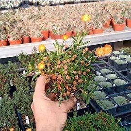 Delosperma Mandarin       (dw)