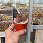 Echinocereus sanpedroensis  Ri 0263 San Pedro
