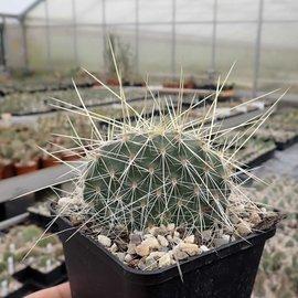 Opuntia polyacantha   1900 m Bandelier Nat. Mon. Santa Fe    (dw)