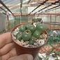 Conophytum uvaeforme
