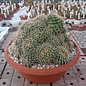 Mammillaria tolimensis