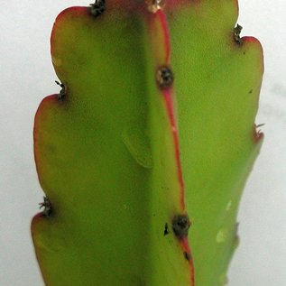 Rhipsalis agudoensis  HU 821 Agudo, Rio Grande do Sul, Brasilien