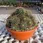 Mammillaria bernalensis  Rep. 1165 Las Palmas, Querétaro, Mexico, 1750 m