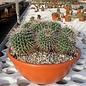 Mammillaria bernalensis  Rep. 032 Colon, Querétaro, Mexico, 2000 m