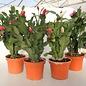 Angebot des Monats: Schlumbergera Hybriden
