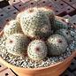 Mammillaria bombycina  Rep. 2315 Los Alisos, Jalisco, Mexico
