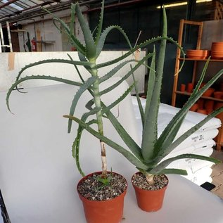 Offer of the month Heilaloe