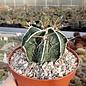 Astrophytum ornatum cv. Hania