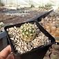 Echinocereus chloranthus  ssp.cylindricus  f. corellii      (dw)