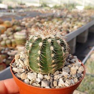 Echinocereus pulchellus v. weinbergii