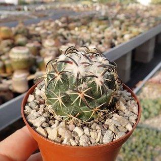 Coryphantha tripugionacantha  MMR 064 San Juan Capistrano
