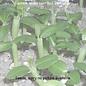 Echeveria agavioides  cv. Red Leaf      (Samen)