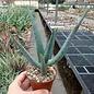 Aloe casteana