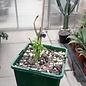 Erythrina crista - galli