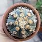 Astrophytum asterias cv. Nudum-Hybr.